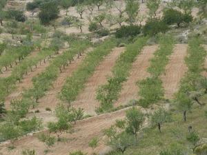 Almendros en la zona de Rincón de Sumiedo