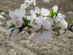 Detalle de Floracion del Almendro