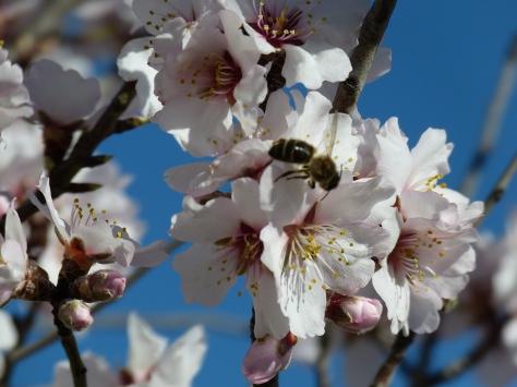 ¡Qué bonita la flor del almendro!