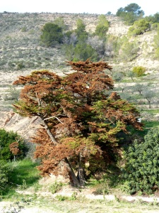 2.Cedro del Pozo Agüicas en Fuente Vieja
