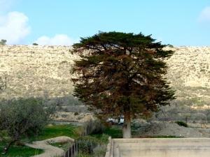 3.Ciprés del Ingles en Galifa