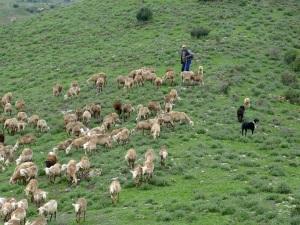 Parada 10_Cordel del Puerto del Judio_Rebaño de oveja segureña
