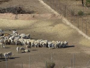 Parada 10_Ganadería extensiva_Rebaño de oveja segureña