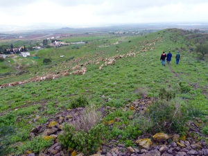 Parada 2_El Cordel de Perin_Rabaño de oveja segureña en el Campo de Cartagena