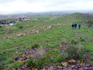 Parada 2_El Cordel de Perin_Rebaño de oveja segureña