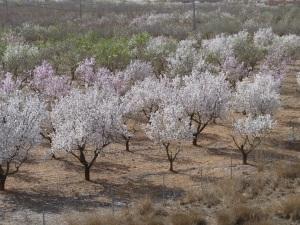 Parada 6_Cultivos de secano_Almendros en flor