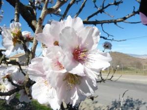 Parada 6_Cultivos de secano_Detalle flor almendro