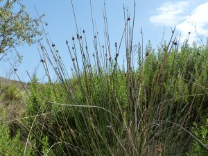 Parada 9_Ecosistemas de Rambla_Junco de bolas_Scirpus holoschoenus