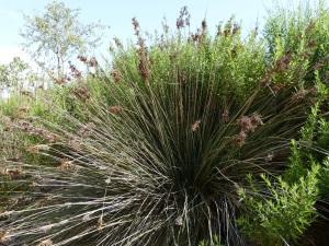 Parada 9_Ecosistemas de Rambla_Junco espinoso_Scirpus actus