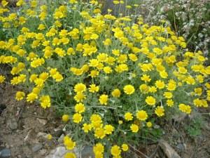 Anthemis chrysantha 02
